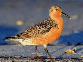 RedKnots