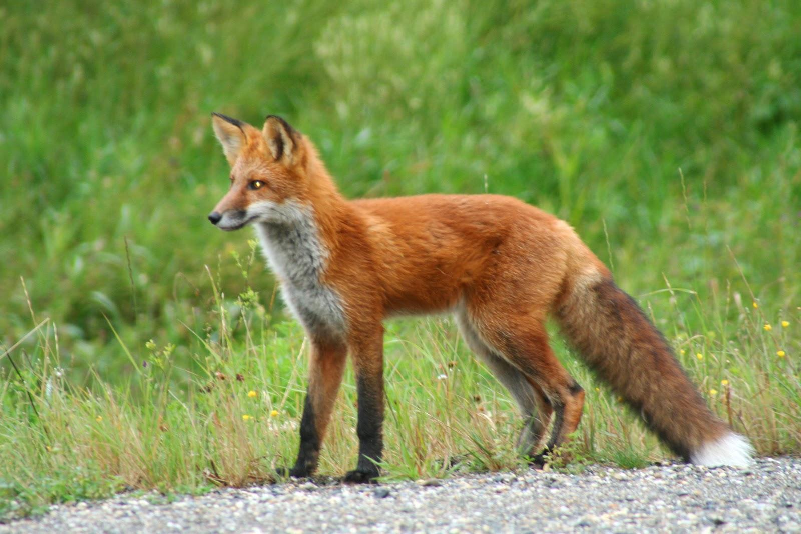 fox pens phase out virginia public radio. Black Bedroom Furniture Sets. Home Design Ideas