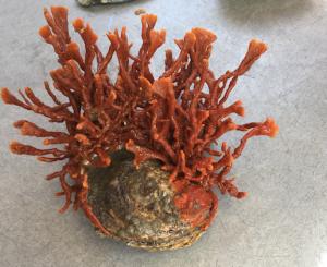 diseased-oyster