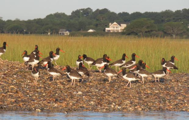oystercatchers_two