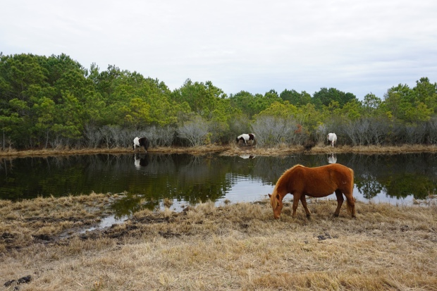 ponies munch on marsh grass